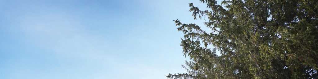 pine tree top and blue sky